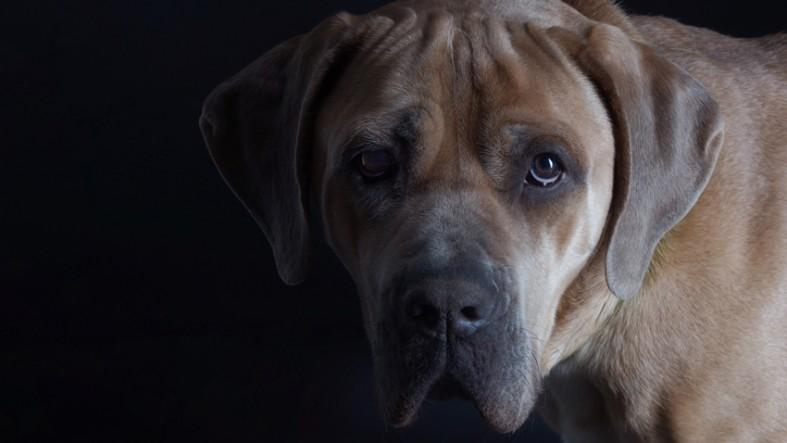 Studiohund Rocky ist ein Cane Corso und gehört seit April 2017 mit zum Studioteam.